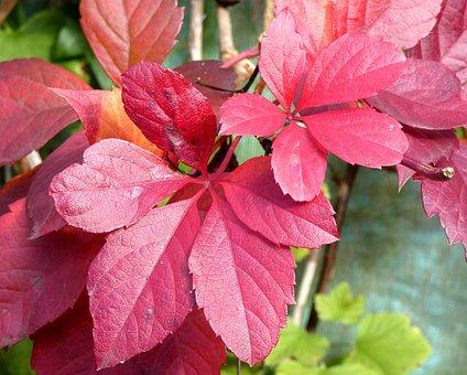 Vine-virgin, Leaf, Color, Fall, Purple, Foliage, Red