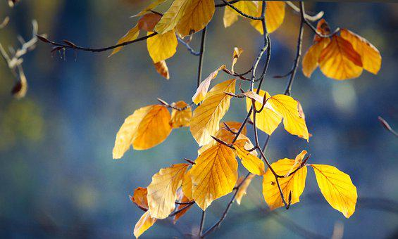 Beech, Autumn, Leaves, Colorful, Nature, Yellow, Color