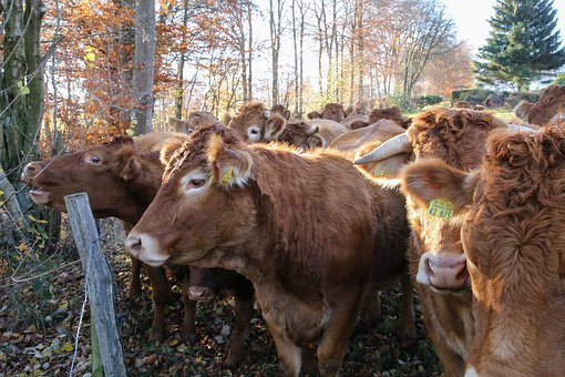 Cow Herd, Herd Of Cattle, Agriculture