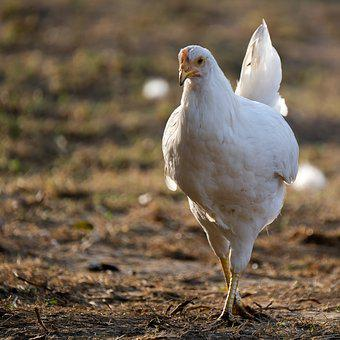 Chicken, Hen, Poultry, Free Range, Farm, White
