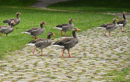 Geese, Wild Geese, Waterfowl, Group, Goose-char, Run