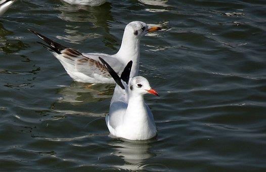 Gull, Bird, Black-headed Gull