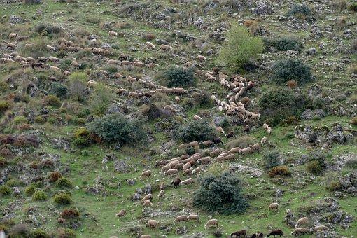 Sheep, Mammal, Fauna, Herd, Fall, Descend, Wool, Cheese