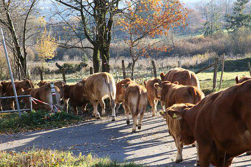 Cow Herd, Herd Of Cattle, Output