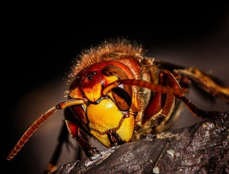 Hornet, Hornets, Wasps, Wasp, Insect, Nature, Macro