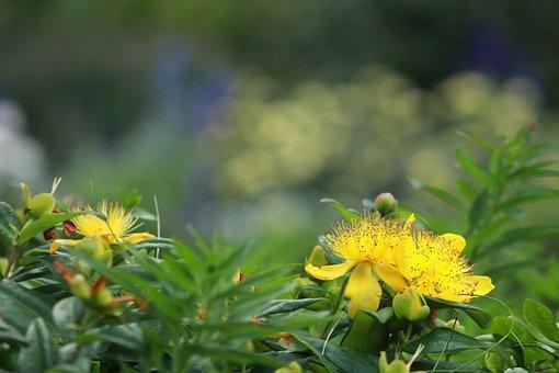Hypericum Perforatum, Yellow Flower, Hypericaceae