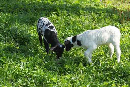 Sheep, Lambs, Animals, Cattle, Farm, Cute