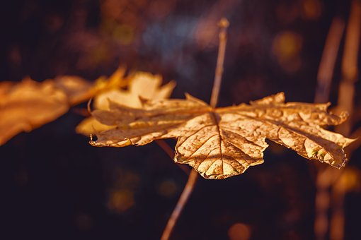 Autumn, Autumn Leaf, Branch, Leaf, Fall Color, Golden