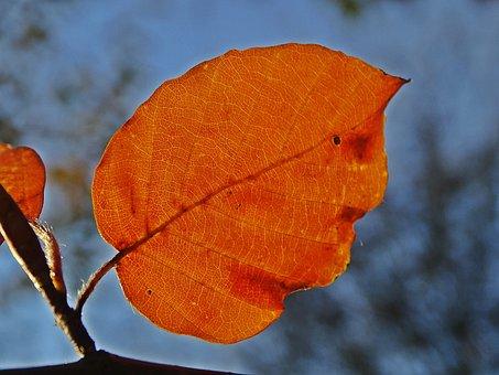 Fall, Leaf, Beech, Colorful, Orange, Light, Nature