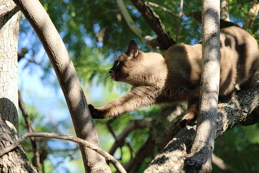 Cat, Siamese, Tree, Branches, Leaves, Sky