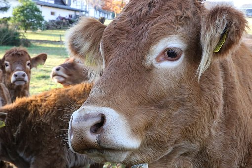 Cow Herd, Herd Of Cattle, Livestock, Agriculture