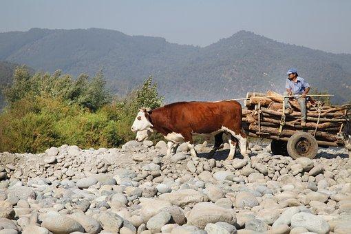 Arriero, Cows, Cart, Landscape, Livestock, Mountains