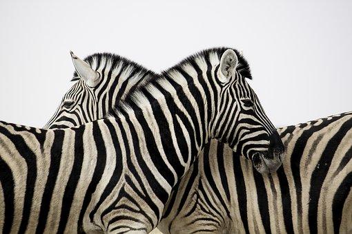 Zebra, Stripes, Love, Animal, Africa, Safari