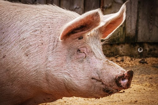 Pig, Lucky Pig, Sanctuary, Luck, Sow, Pink
