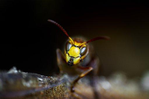 Wasps, Wasp, Insect, Nature, Macro, Animal