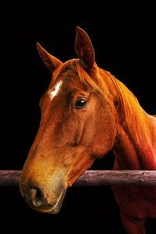 Horse, Standard, Brown, Nostrils, Head, Mammals