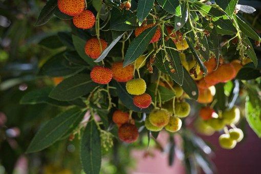 Strawberry Tree, Plant, Mediterranean Plant, Jam