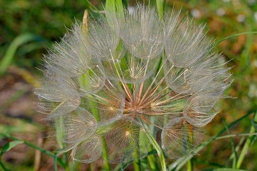 Dandelion, Meadow, Close-up, Autumn, Nature