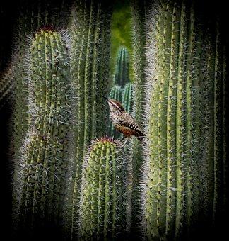 Cactus Wren, Organ Pipe Cactus, Cactus, Arizona, Desert