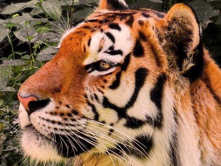 Animal, Tiger, Big Cat, Amurtiger, Cat, Predator, Head