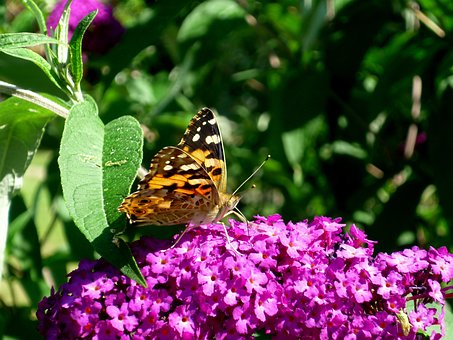 Butterfly, Purple Flower, Tortoiseshell
