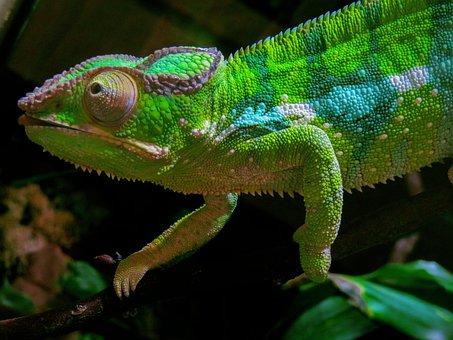 Animal, Chameleon, Exotic, Reptile, Camouflage