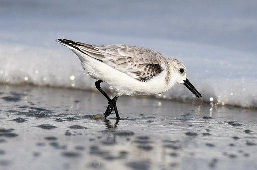 Sanderling, Winter Dress, Migratory Bird, Sea, Atlantic
