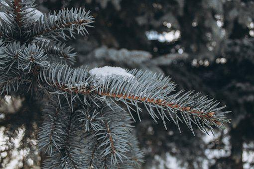Winter, Spruce, Snow, Tree, Nature, December, Frost