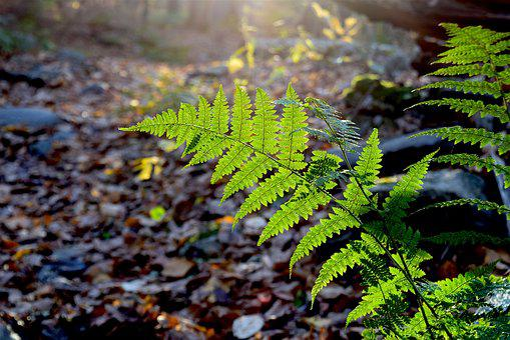 Fern, Green, Backlit, Sun, Bright, Woods, Forest, Path