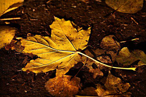 Autumn Leaf, Fall, Fallen, Yellow, Golden, Vein