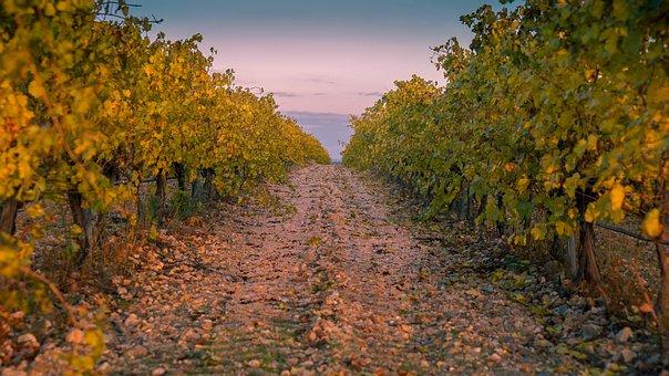 Vineyard, Agriculture, Vine, Vineyards, Harvest, Fields