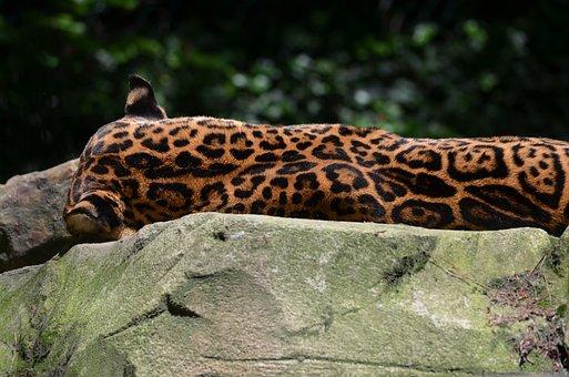 Jaguar, Animal, Wild, Feline, Predator, Mammals