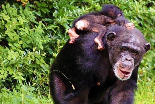 Monkey, Baby, Animal, Mammal, Wildlife, Primate, Cute