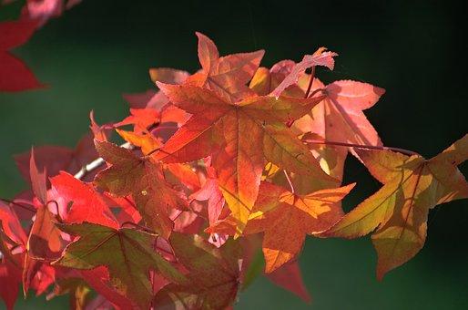 Fall Leaves, Leaves, Fall Foliage, Amber Tree, Bright