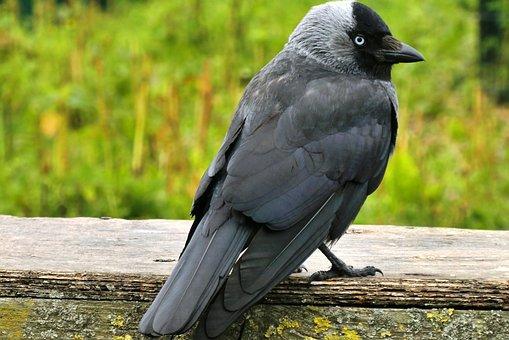 Crow, Bird, Feathers, Animal, Black, Nature, Sit, Beak