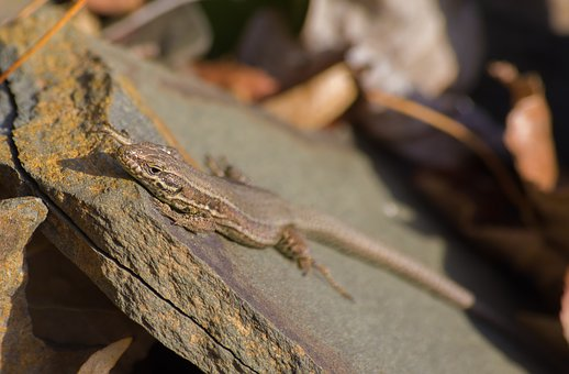 Lizard, Reptile, Sun, Animal, Nature, Animal World