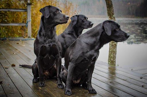 Labrador, Hunting Labrador, Kind, Bird Hunting, Dogs