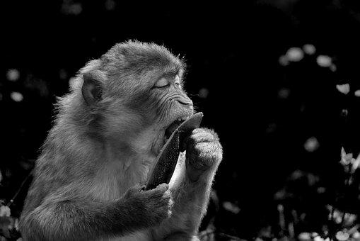 Barbary Ape, Endangered Species, Black And White