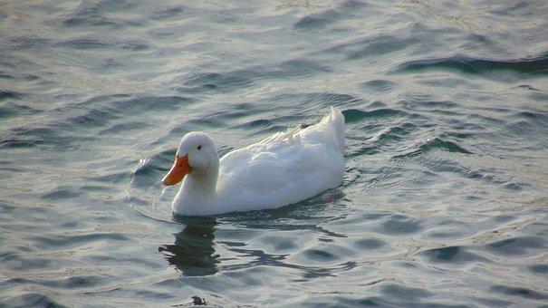 Swan, Animal, Lake, Water, Blue, Nature, Bird, White