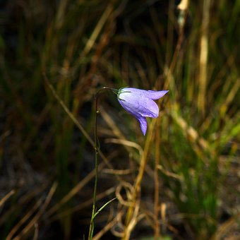 Small Blue Bell Wildflower, Flower, Blue, Bloom, Nature