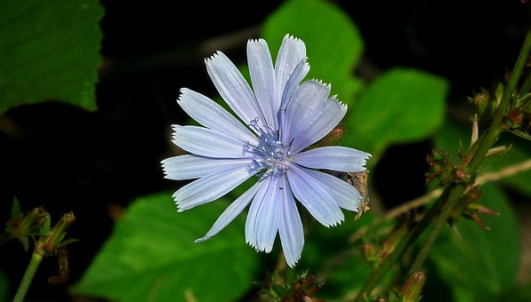 Flower, Chicory, Blue, Nature, Meadow, Summer, Wild