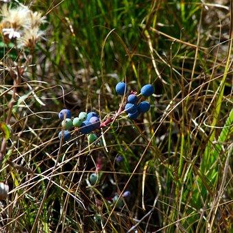 Blue Wild Berries, Blue, Berries, Grand, Teton