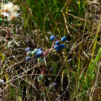 Blue Wild Berries, Blue, Berries, Grand, Teton