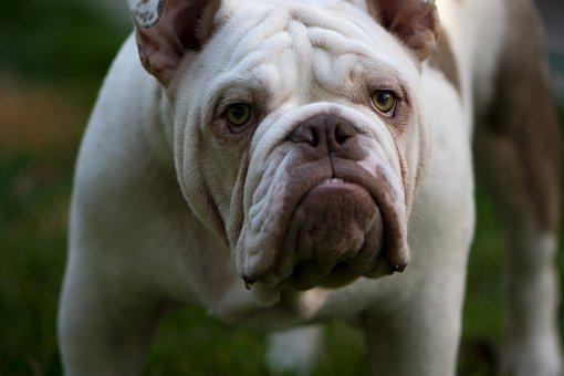 British, British Bulldog, Mans Best Friend