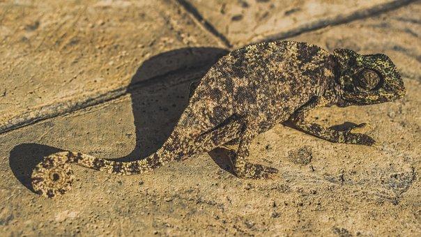 Chameleon, Nature, Reptile, Wildlife, Animal, Wild