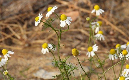 Chamomile Flowers, Chamomile, Plant, Herbal Medicine