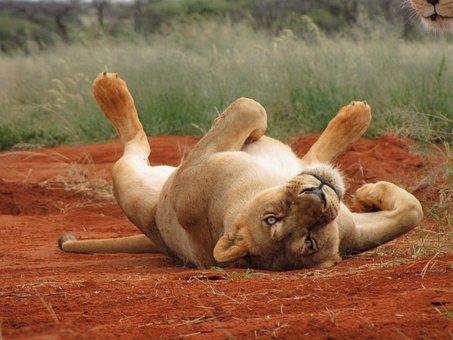 Lion, Lioness, Africa, Wild, Wilderness, Chill, Sleepy