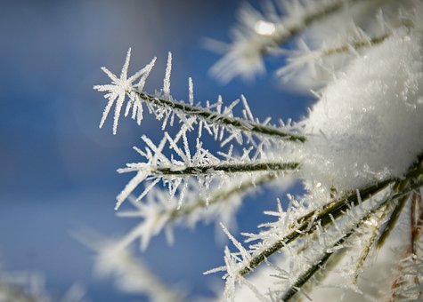 Leann, Frost, Spruce, Winter, Cold, Trees