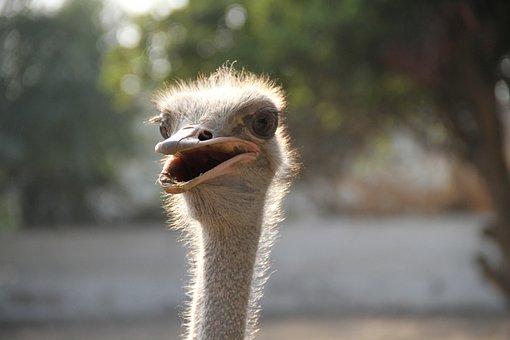 Common Ostrich, Bird, Ostrich, Bigbird
