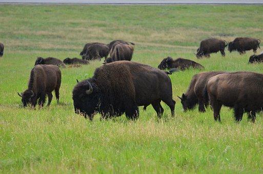Buffalo, Male, Bull, Custer